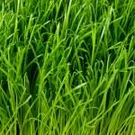 Green grass — Stock Photo #5293589