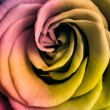 Multicolor rose - Stock Photo