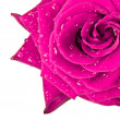 Pink rose — Stock Photo #5298669