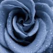 Blue rose — Stock Photo #5299042