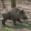 Stock Photo: Boar in the forest