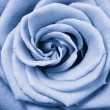Blue rose — Stock Photo #5299306