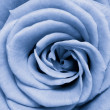 Blue rose — Stock Photo #5299452