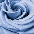 Blue rose — Stock Photo #5299511