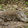 Komodo dragon in natural habitat — Stock fotografie