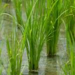 campo de arroz — Foto de Stock