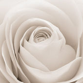 White rose macro — Stock Photo