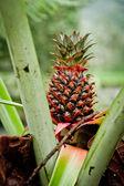 Wild pineapple — Stock Photo