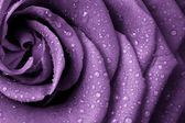 Violet rose — Stock Photo