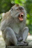 Monkey (Macaca fascicularis) — Stock Photo