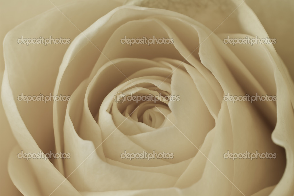Close up of white rose petals — Stock Photo #5297822