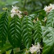 Coffee plant in bloom — Stock Photo