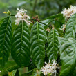 Stock Photo: Coffee plant in bloom