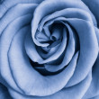 Blue rose — Stock Photo