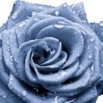 Blue rose — Stock Photo #5300328