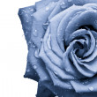 Blue rose — Stock Photo #5300564