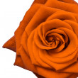 Orange rose - Stock Photo
