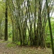Bamboo (bumbusa vulgaris) — Stock Photo