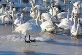 白鳥の群れ — ストック写真