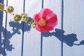 Garden hollyhock lcea Althea rosea — Stock Photo