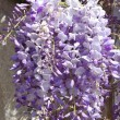 Wisteria — Stock Photo #4056760