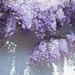 Wisteria — Stock Photo #4333410
