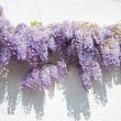 Wisteria — Stock Photo #4902324