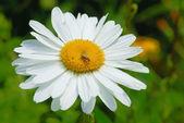 Bílá sedmikráska — Stock fotografie