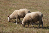 Ovelhas pastando — Fotografia Stock