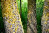 Trees, overgrown with yellow old moss — Stock Photo