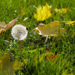 Stock Photo: Single dandelion in autumn maple leaves