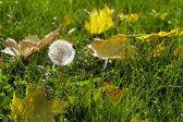 Single dandelion in autumn maple leaves — Stock Photo
