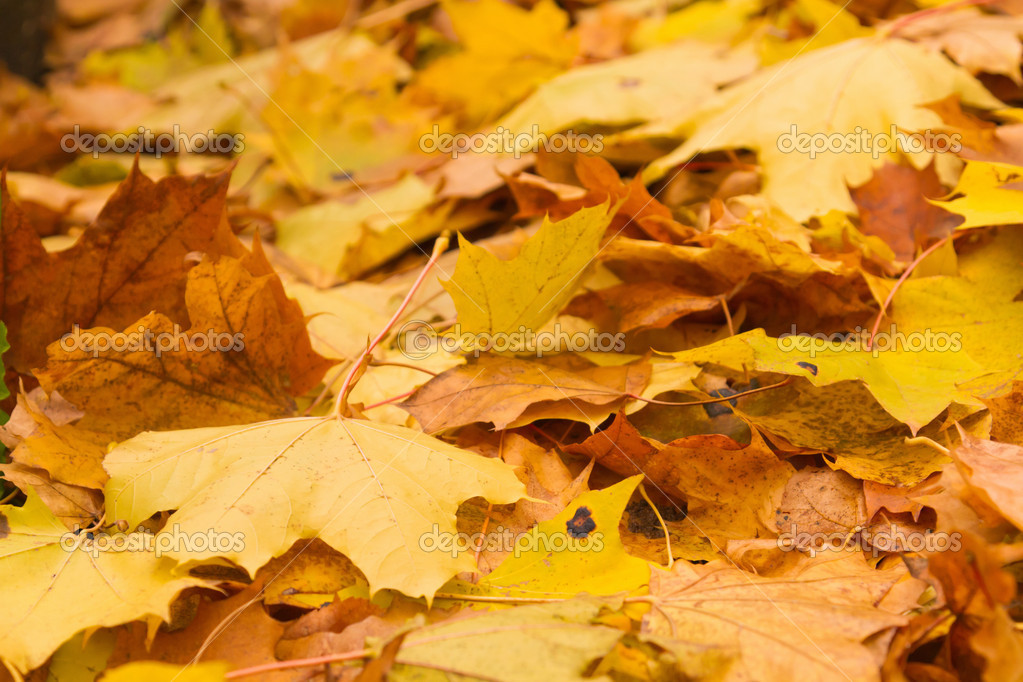 Autumn maple leaves — Stock Photo #4114834