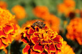 Bee on colored flower — Stock Photo