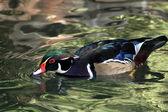 Mandarin duck — Stok fotoğraf