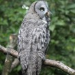 Lap owl on a branch — Stockfoto