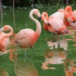 Flamingos cleaning in the water — Stock Photo