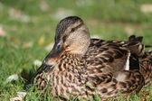 Kobieta kaczki krzyżówki — Zdjęcie stockowe