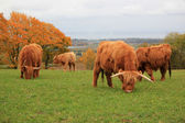 Herd of beautiful highland cows — Stock Photo