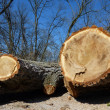 Cut trunks by winter — Stock Photo