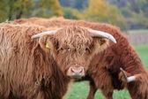 Skotska ko — Stockfoto