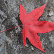 Red autumn leaf — Stockfoto