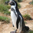 Spheniscus humboldti penguin — Stock Photo