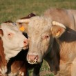 Calf next to its mother — Stock Photo