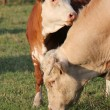 Calf next to its mother — Stock Photo #4563969