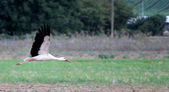 Migrating black and white stork — Stock Photo