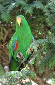 Green eclectus parrot — Stock Photo