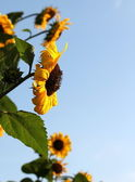 Side of sunflowers — Stockfoto