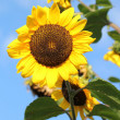 Sunflowers by summer — Stock Photo