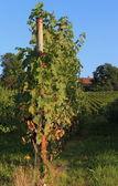 Sunny black vineyard — Stock Photo